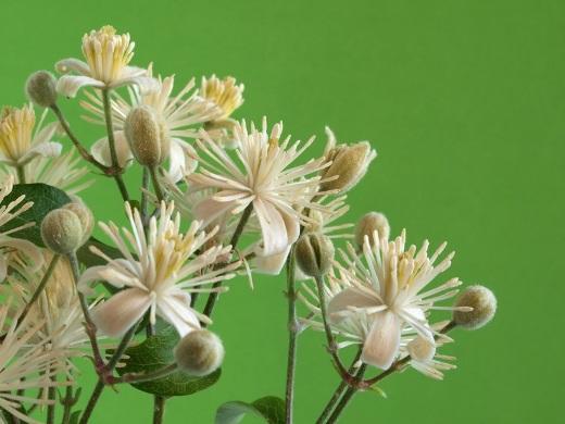 Clematis vitalba - Weiße Waldrebe - Die Bachblüte Clematis ist für Menschen gedacht, die mehr in ihren Träumen leben als in der Realität.